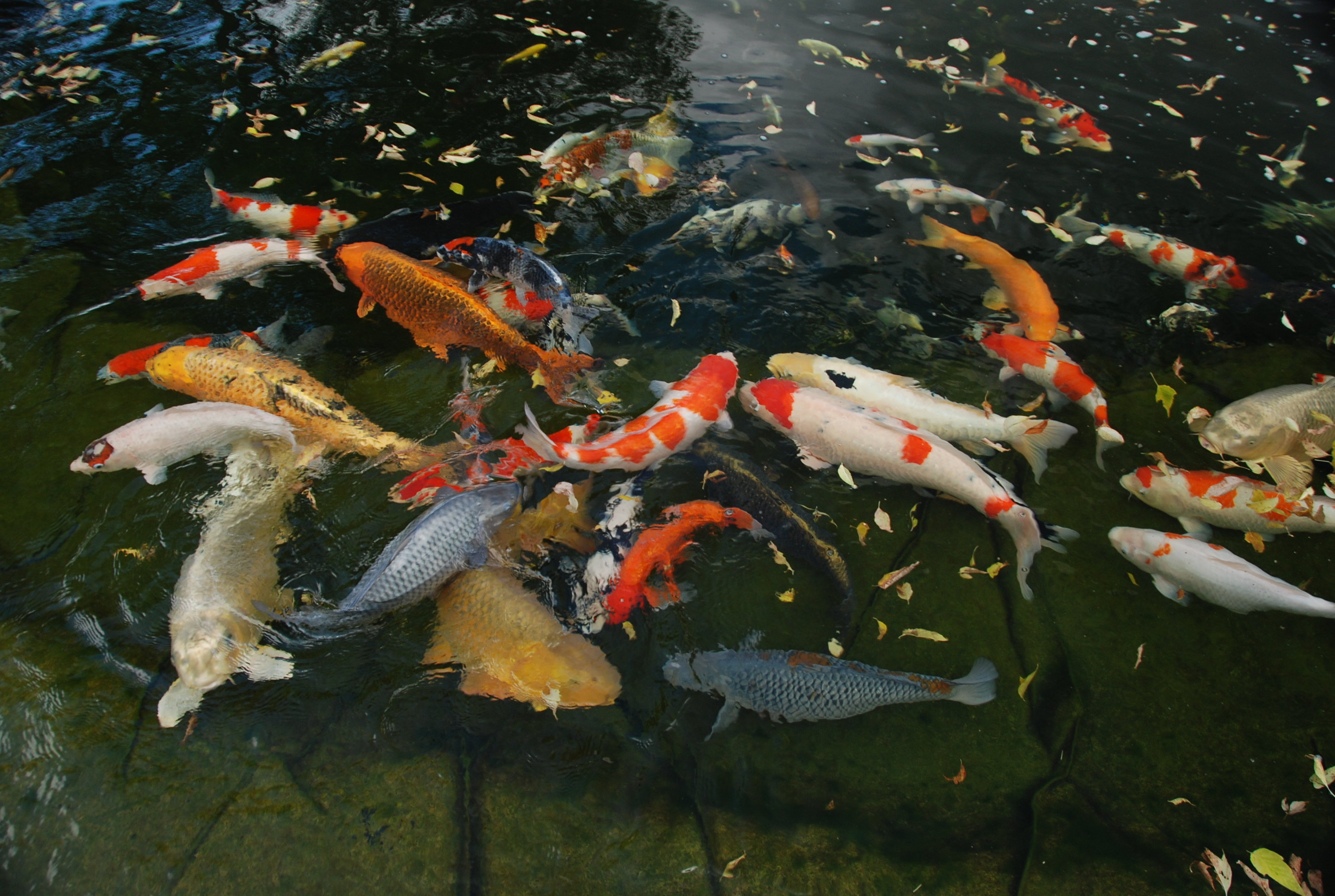 Deliveryman vs koi pond video mix 102 7 for Types of fish pond